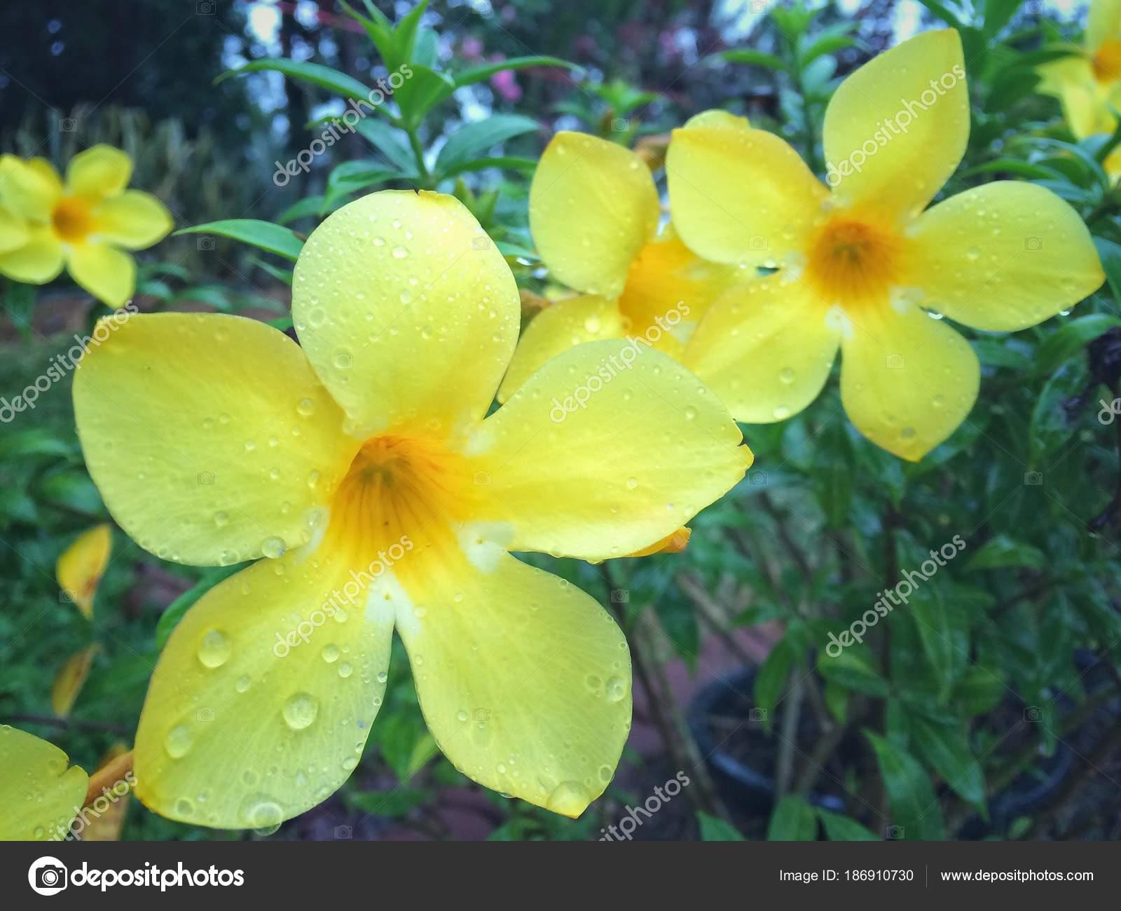 Rain drops yellow allamanda flower stock photo thattep 186910730 rain drops yellow allamanda flower stock photo izmirmasajfo