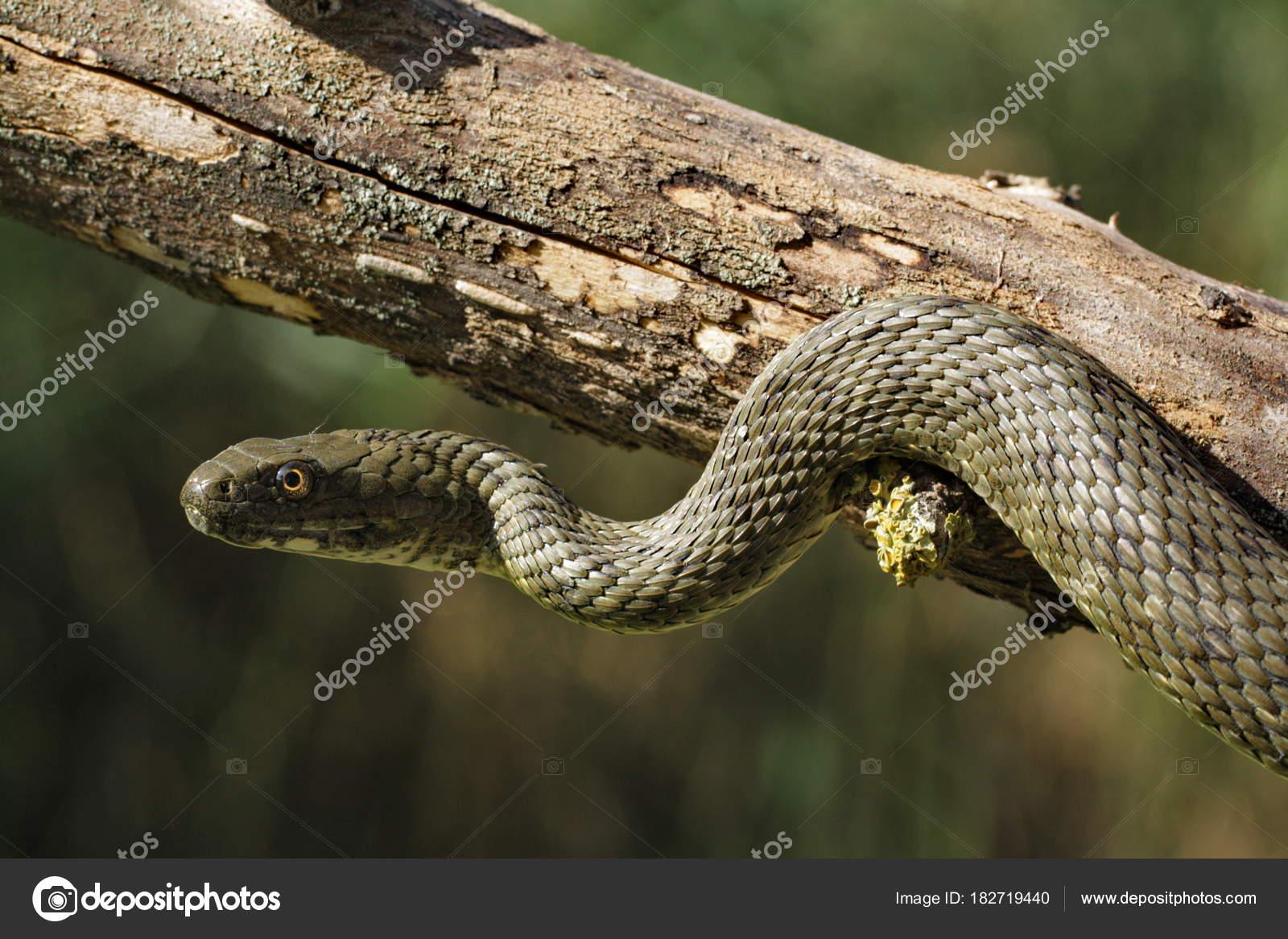 ужовые змеи