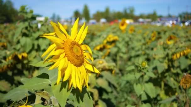 Krásné slunečnice v oblasti umírající slunečnice v létě
