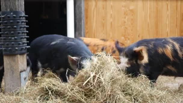 Kunekune Schweine Essen Heu im Gehege