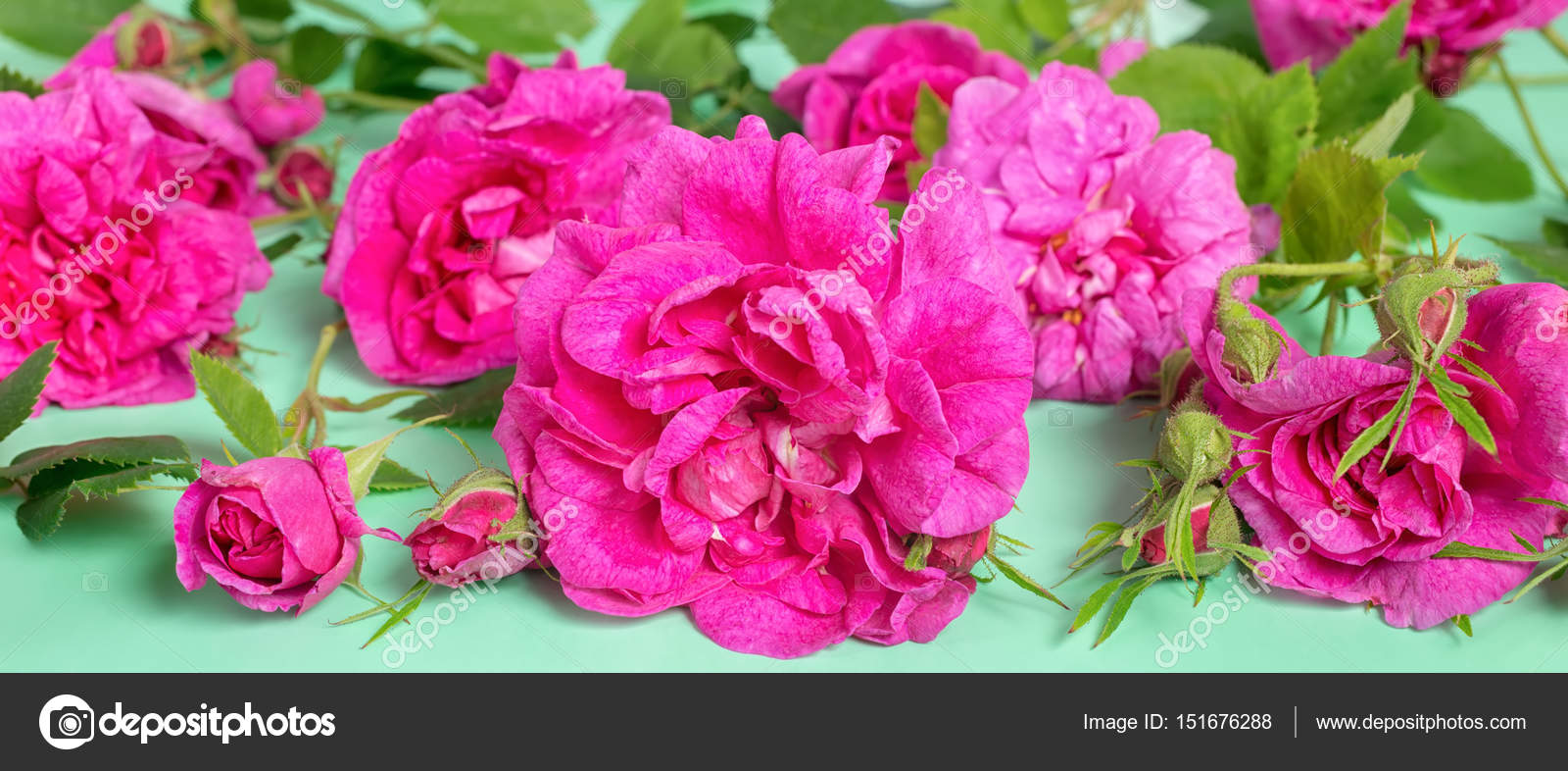 Beautiful Romantic Pink Rose Flowers With Buds And Leaves Lies O