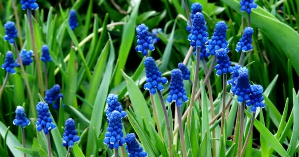 Blue Muscari in the garden in the spring.