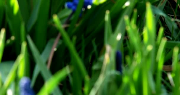 Blue Muscari in the garden in the spring. Move the camera from the bottom up with a focus on the flowers.