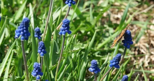 Motýl se houpe ve větru na květině. Želví krunýř opyluje na jaře květ.