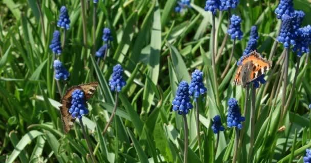 Motýli sedící na modrých muškarách v zahradě. Malé želví motýly na zeleném květinovém záhonu v jarním dni.