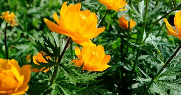 Bright orange flowers of Trollius in the summer garden.
