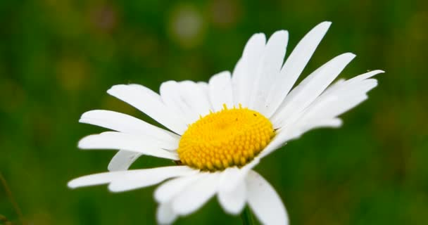 Chamomile swaying in the wind. Close-up on a background of green grass. Large white daisy bud.