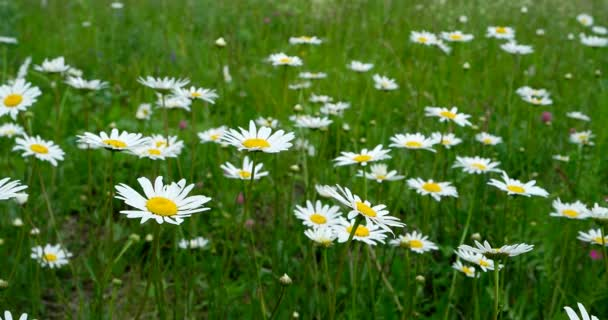 Chamomile slowly swaying in the wind. White daisies blooming on a green field.