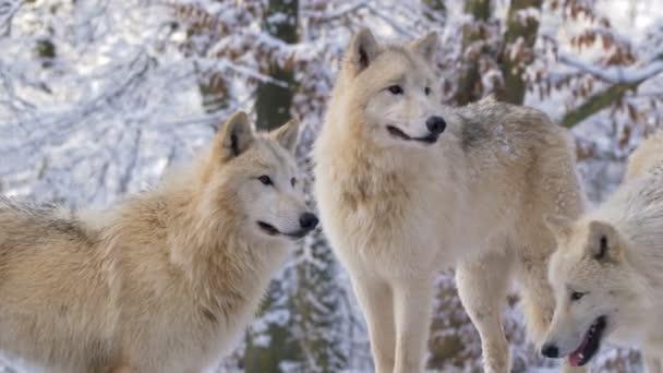 Arctic wolf (Canis lupus arctos) in winter