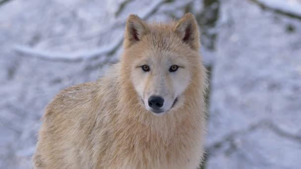 Sarki Farkas (Canis lupus arctos) télen