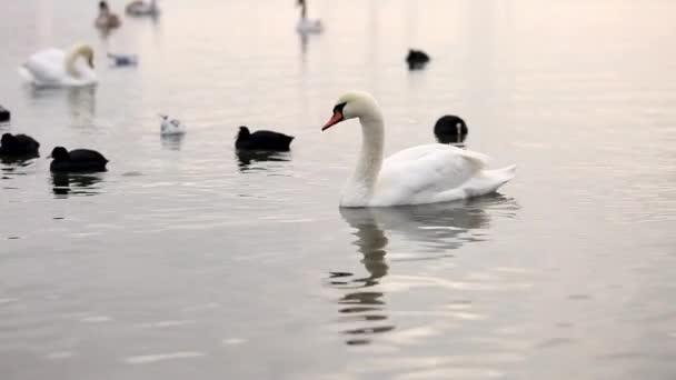 schöner weißer Schwan schwimmt im Wasser