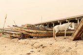 Photo White horse among pirogues. Beach-port of Guet Ndar. Saint-Louis-du-Senegal. 2994
