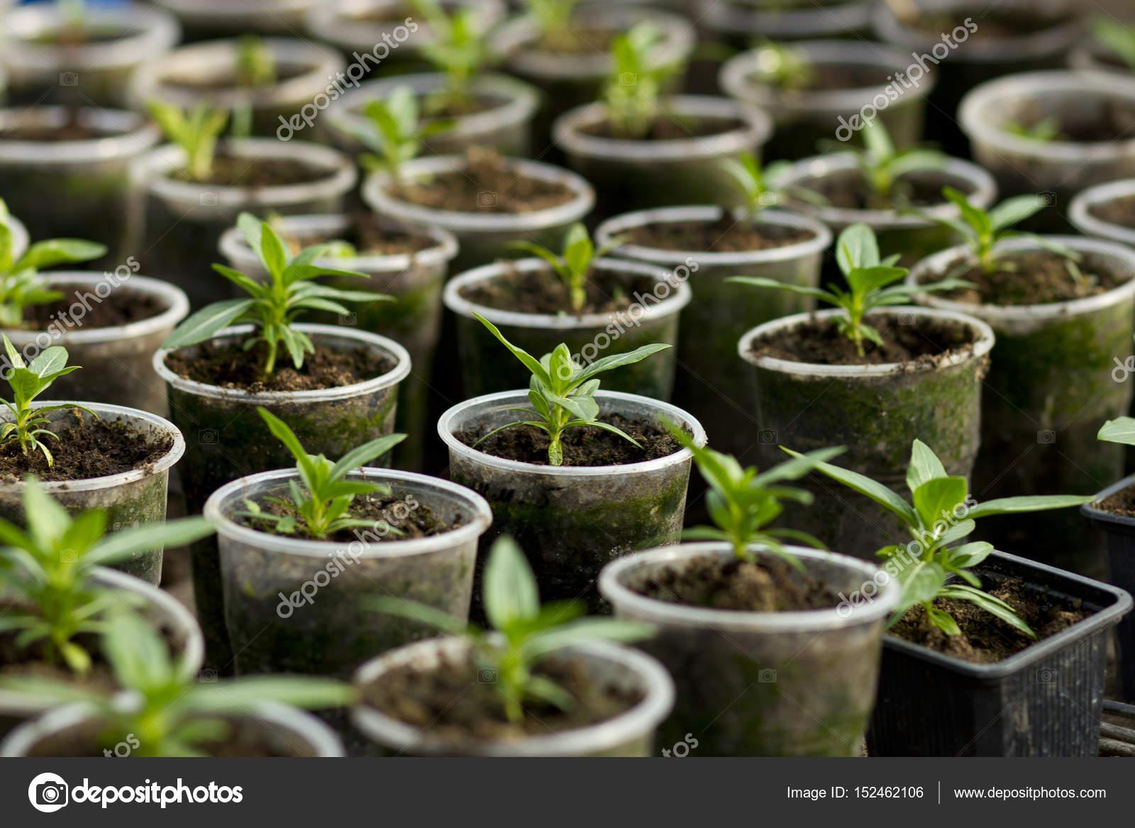 Sadzonki Warzyw W Plastikowe Doniczki Z Góry Zdjęcie