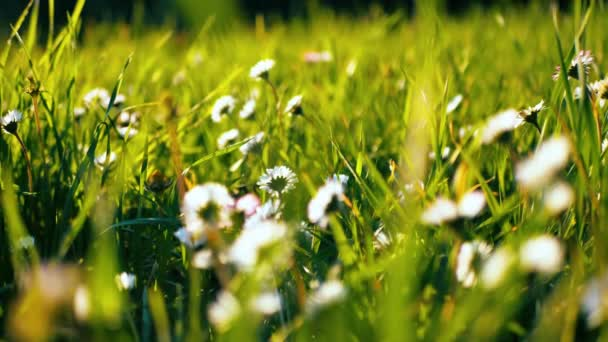Side view of chamomile flowers closeup with soft focus swaying in the wind. Blooming daisies in green field in spring meadow. Botanical video with beautiful ordinary daisies