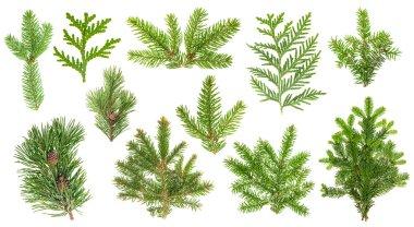 Set coniferous tree branches. Spruce, pine, thuja, fir twigs