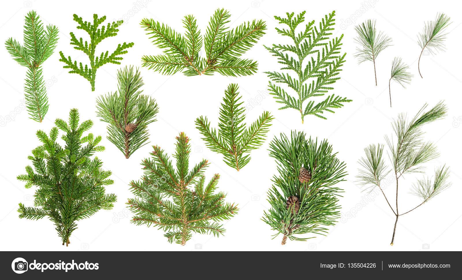 Ensemble des branches d arbres conif res feuilles for Arbres a feuilles persistantes