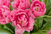 Gocce di acqua di fiori dentellare del tulipano