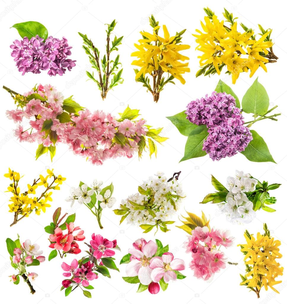Blossoms apple tree cherry pear forsythia lilac Spring flowers