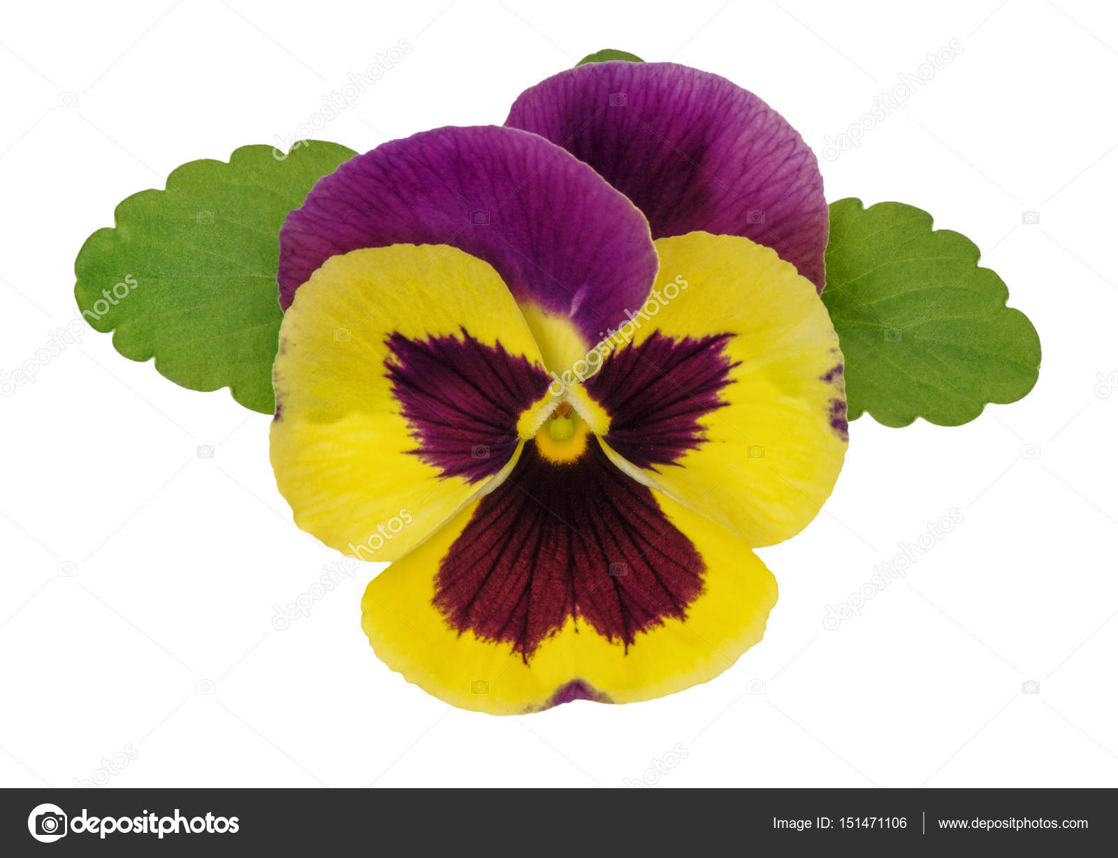 Pansy Flower Head Green Leaves Isolated White Background Stock Photo C Liligraphie 151471106