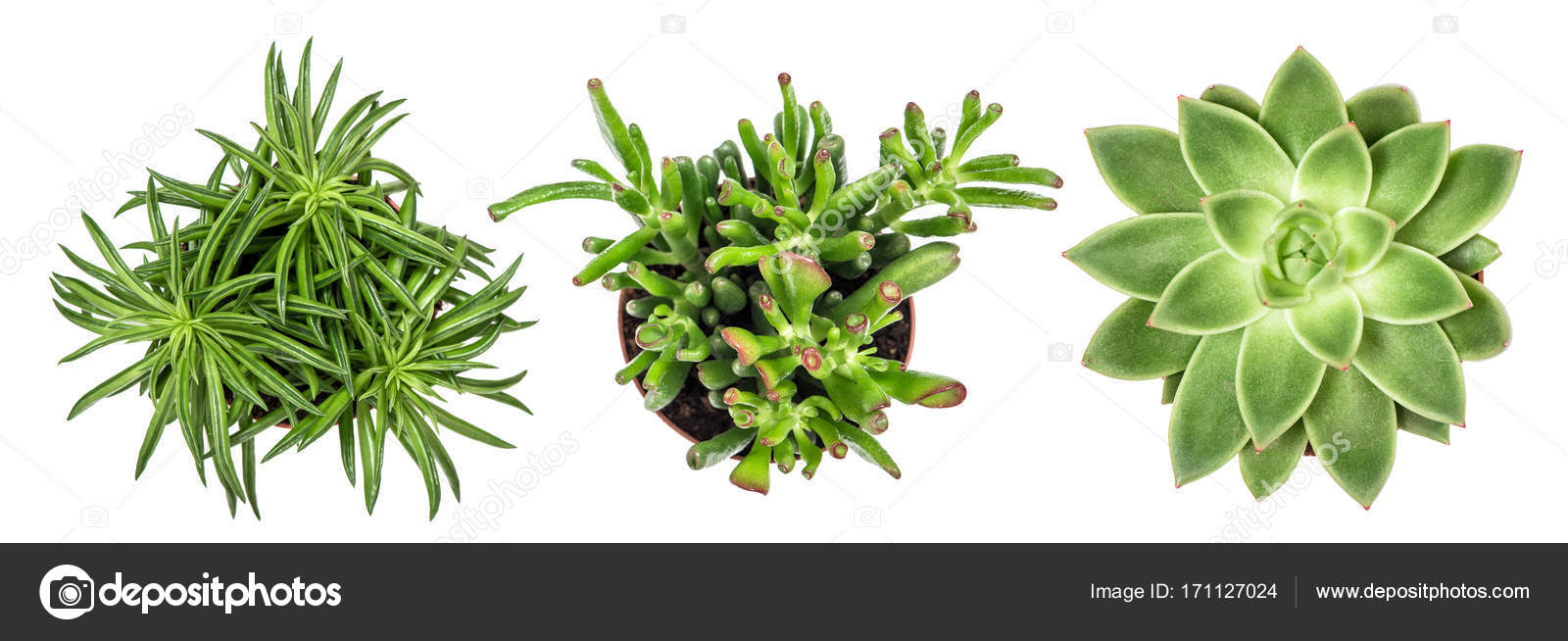Succulent Plants White Background Top View Stock Photo