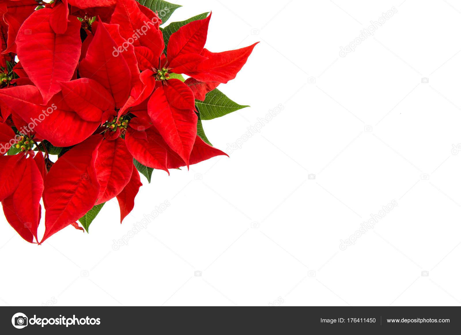 Weihnachten Blume isoliert weißen Hintergrund rot Weihnachtsstern ...