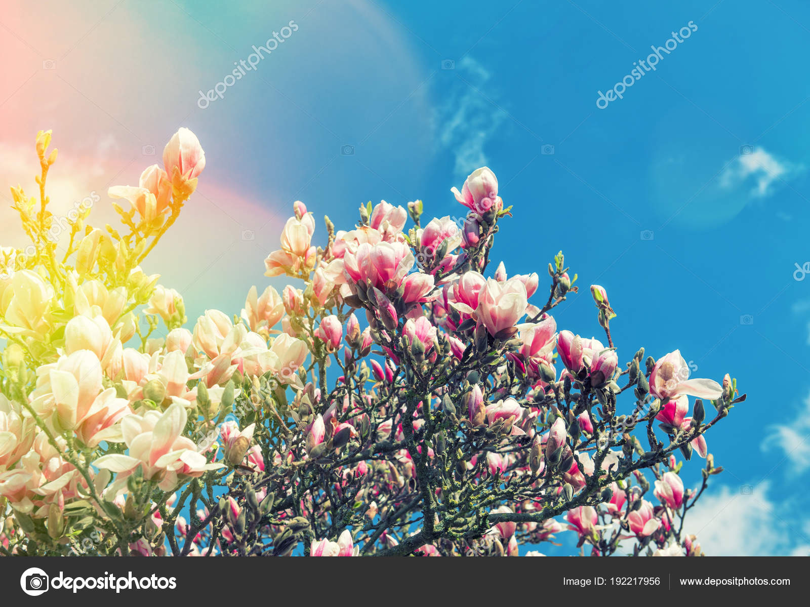 Blossoming Magnolia Tree Spring Flowers Blue Sky Vintage Toned