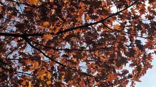 Silhouette elhagyja a hátteret. Arany ősz vörös levelek kép.Gyönyörű tölgy levelek fa ágak árnyékok lengő.