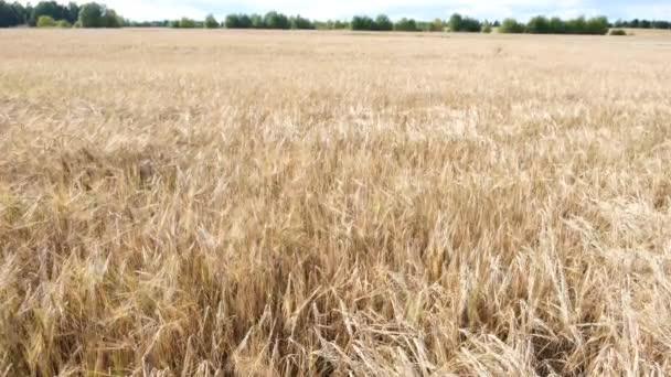 Barley field. Beautiful rural landscape. Golden ears of barley on the field. The wind swings the harvest of grain crops. Rich harvest concept - 4K footage