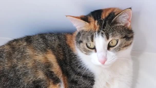 Közelkép a gyönyörű trikolor macskáról. Macskaarc közelről. Szép bolyhos macska szürke háttérrel. 4k felvétel.