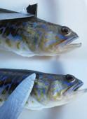 Fotografia Colorato, Trachinus tossici sulla zolla bianca con spine velenose sui lembi posteriori e laterali