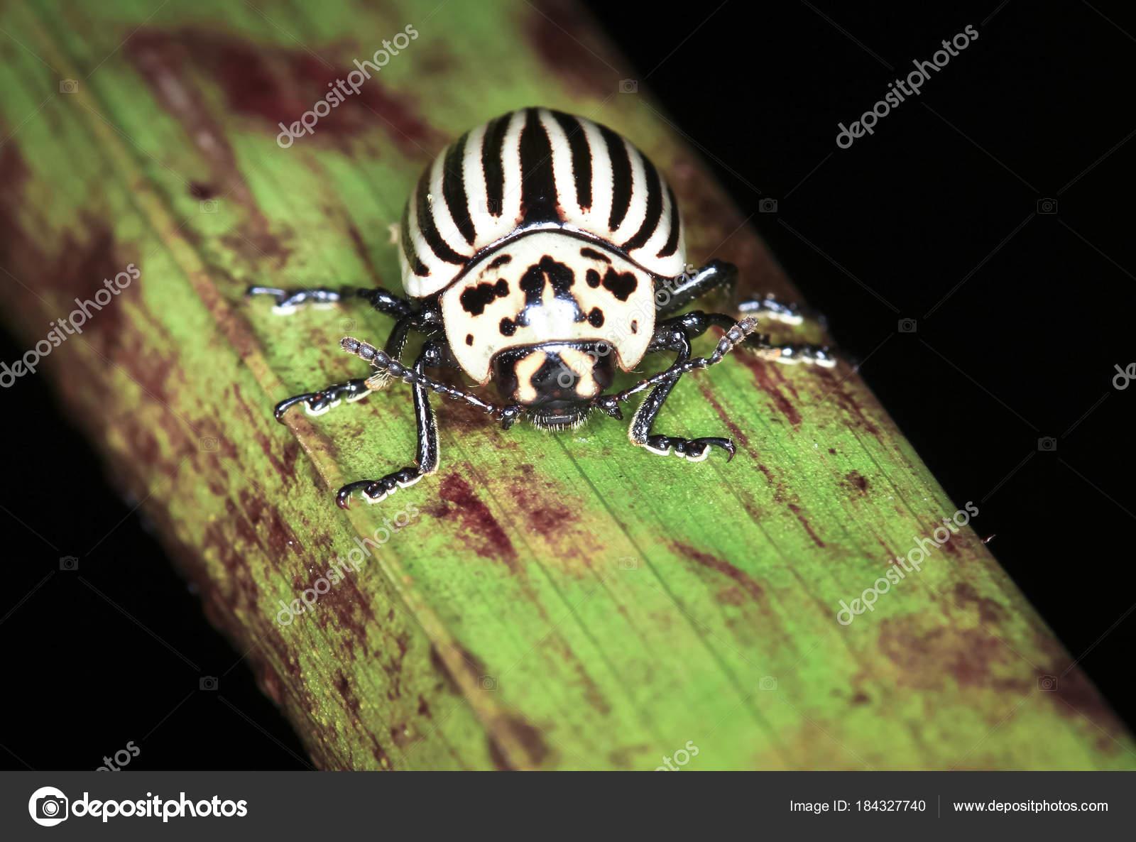 a black belly potato beetle aka leaf beetle leptinotarsa