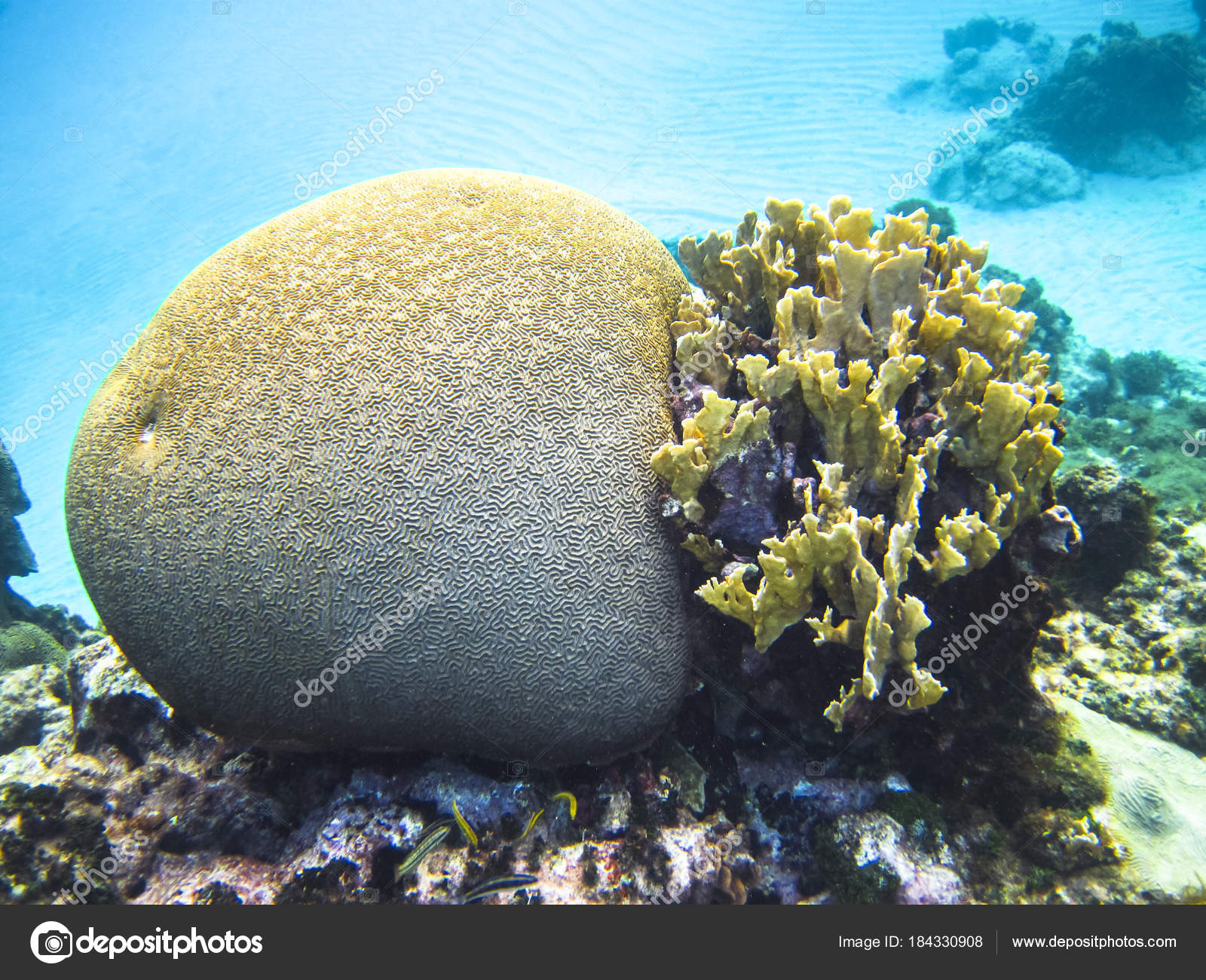 Different types of coral including brain coral family mussidae or different types of coral including brain coral family mussidae or merulinidae in the publicscrutiny Gallery