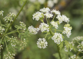 Conium maculatum poison parsley spotted hemlock corobane carrot fern devils bread porridge tall plant with small white flower umbels light by flash