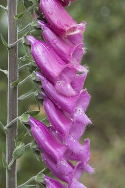 Digitalis purpurea common purple foxglove lovely plant with red or purple pink flower rods light by flash