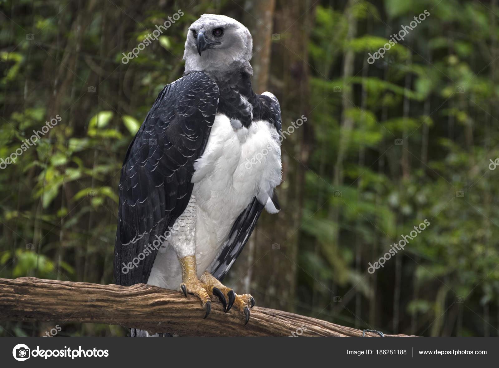 Harpij Arend, de zwaarste van's werelds prooi vogels ...