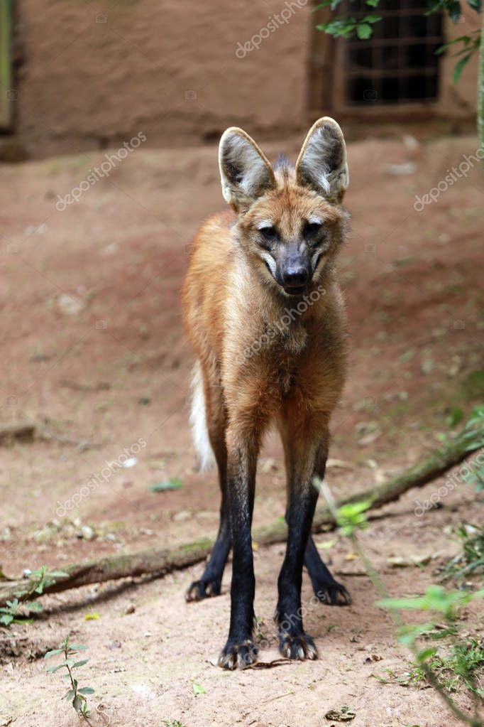 Maned wolf, the largest canid of South America
