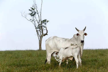 Nelore calf grazing with mother