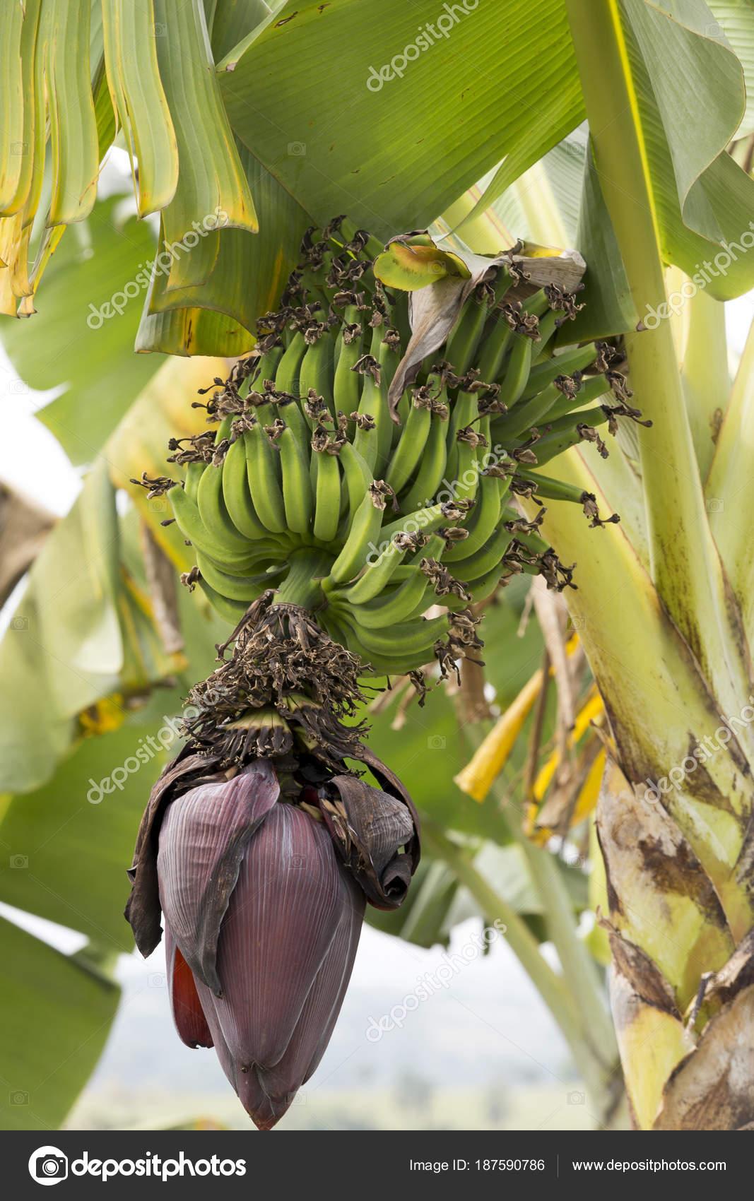 Банановые деревья с цветами