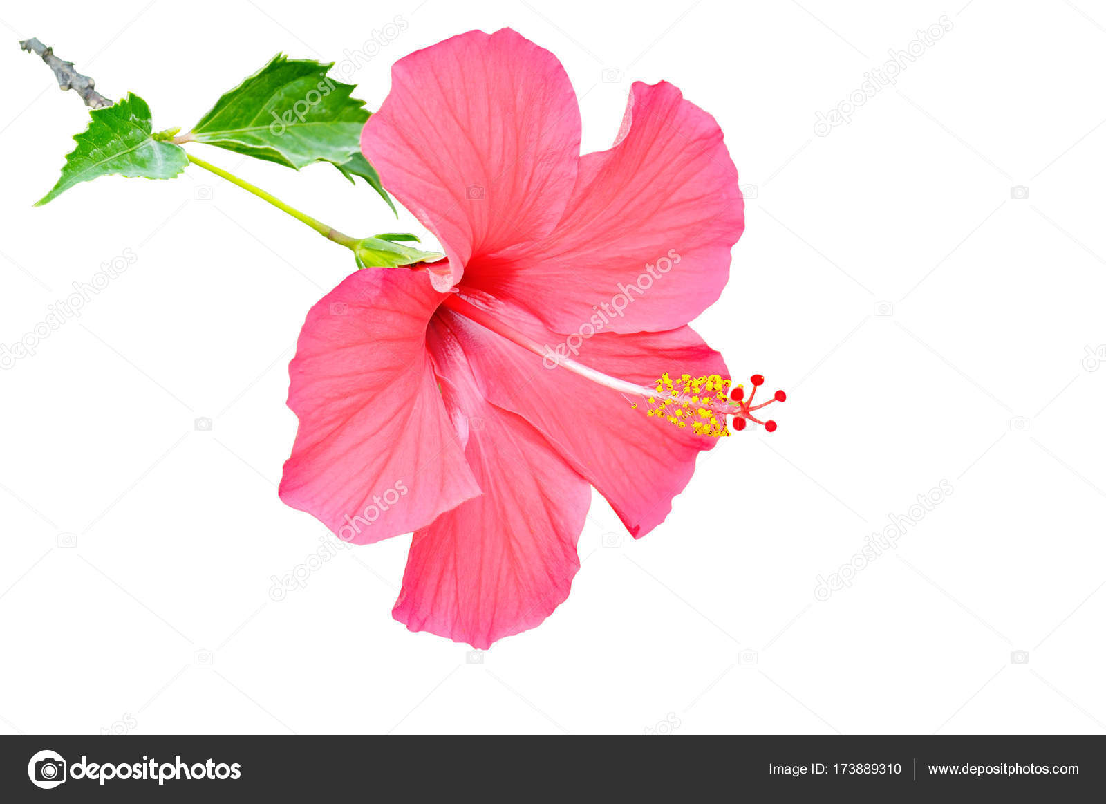 Hibiscus flower isolated on white background free space for tex hibiscus flower isolated on white background free space for tex stock photo izmirmasajfo