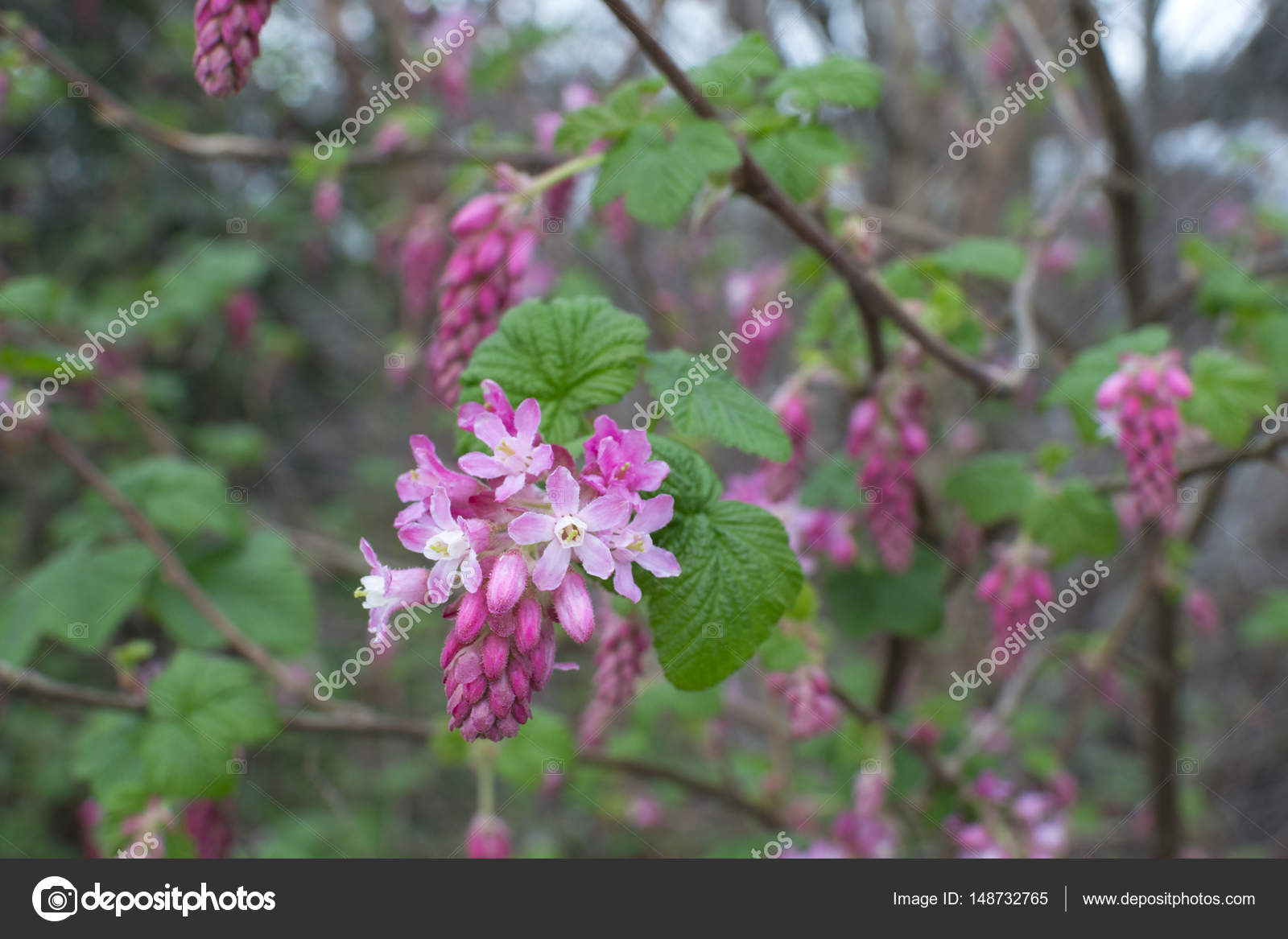 Red flowering currant bush stock photo czuber 148732765 red flowering currant bush stock photo mightylinksfo