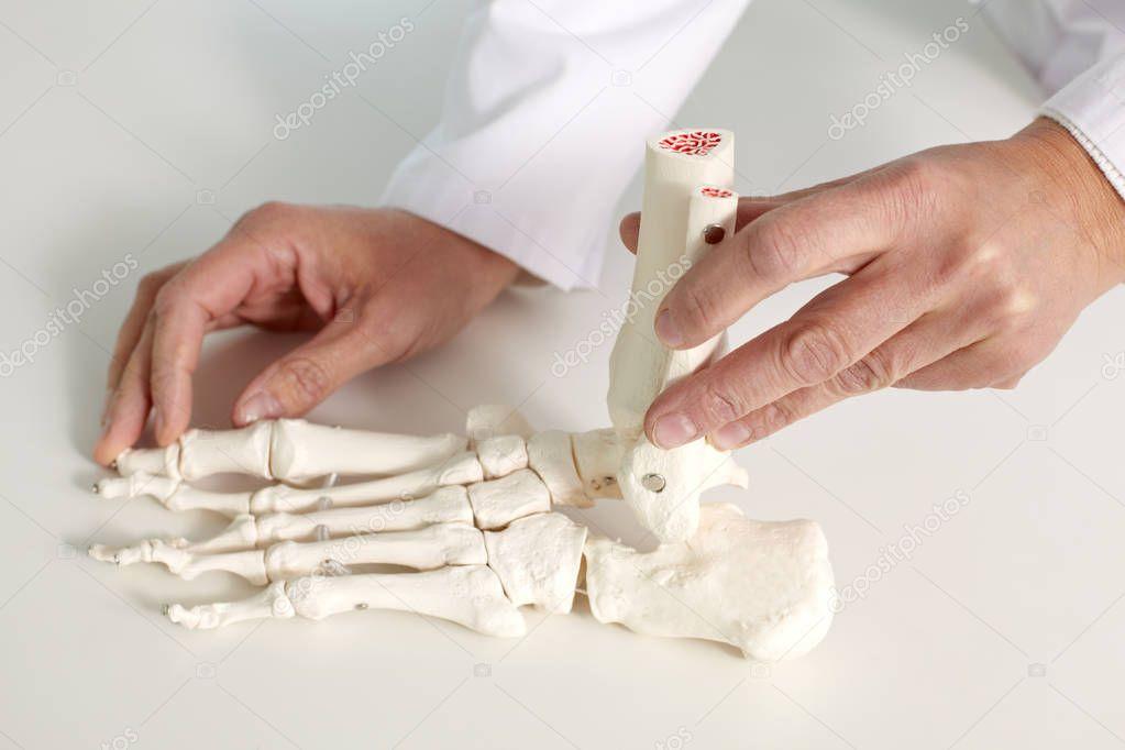model of foot bones