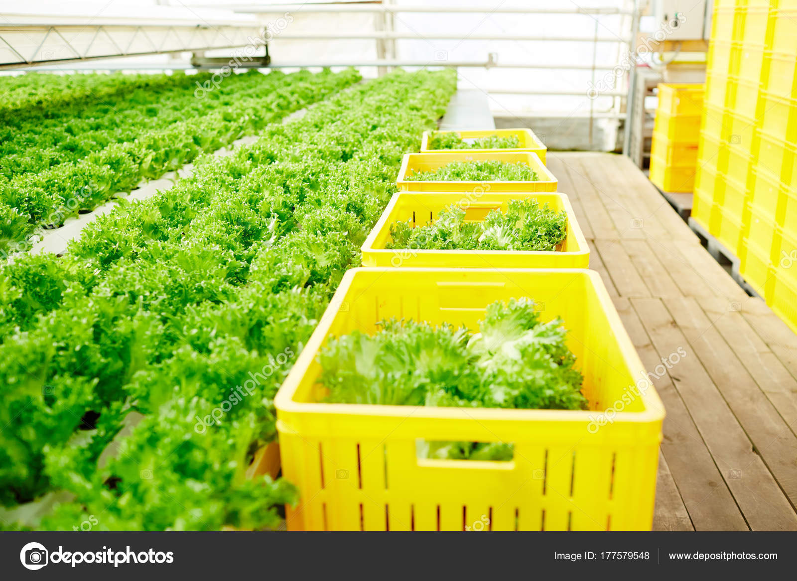 Bio Food Growing Greenhouse Some Plastic Farm Baskets Fresh Lettuce Stock Photo