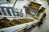 Salát z čerstvých mořských řas ochucený olej a koření na výrobní lince v továrně na ryby