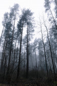 tops of pines in the woods against the grey sky on a misty day