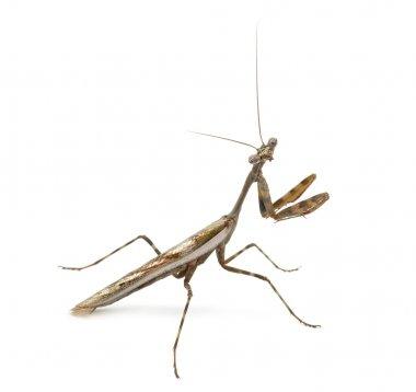 Male Praying mantis - Parasphendale affinis