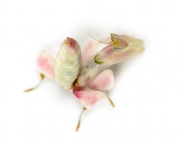 Female praying mantis, orchid mantis, isolated on white