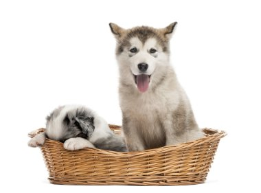 Alaskan Malamute and crossbreed puppies sitting in a basket