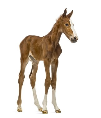 Foal isolated on white