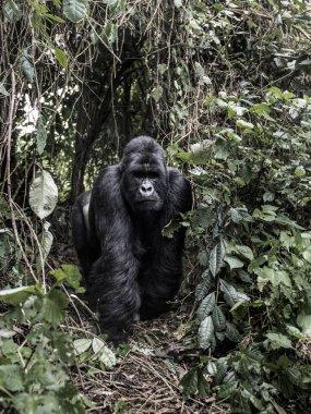 silverback mountain gorilla in the Virunga National Park, Africa