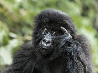 Young mountain gorilla in the Virunga National Park, Africa, DRC
